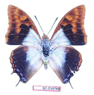 (Charaxes lactetinctus lactetinctus - BC-EV0769)  @14 [ ] Unspecified (default): All Rights Reserved  Unspecified Unspecified