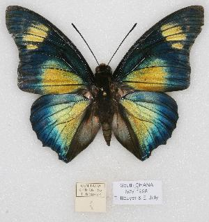 (Charaxes jolybouyeri - BC-EV0770)  @15 [ ] Unspecified (default): All Rights Reserved  Unspecified Unspecified