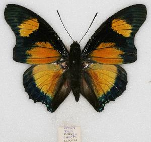 (Charaxes fournierae kigeziensis - BC-EV0772)  @15 [ ] Unspecified (default): All Rights Reserved  Unspecified Unspecified