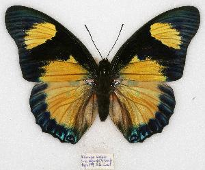 (Charaxes fournierae kigeziensis - BC-EV0773)  @15 [ ] Unspecified (default): All Rights Reserved  Unspecified Unspecified