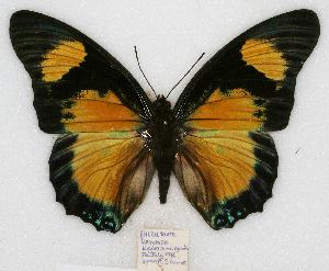 (Charaxes fournierae - BC-EV0774)  @15 [ ] Unspecified (default): All Rights Reserved  Unspecified Unspecified