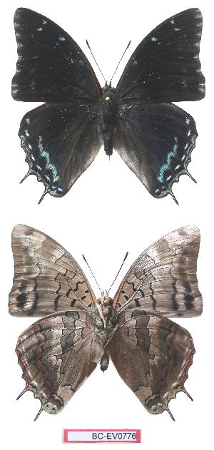 (Charaxes mafuga - BC-EV0776)  @15 [ ] Unspecified (default): All Rights Reserved  Unspecified Unspecified