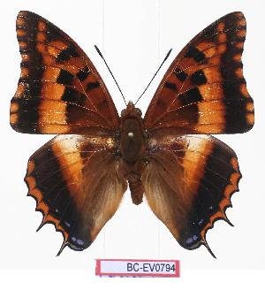 (Charaxes druceanus katamayu - BC-EV0794)  @15 [ ] Unspecified (default): All Rights Reserved  Unspecified Unspecified