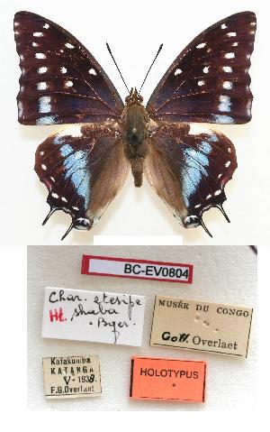 (Charaxes estesipe shaba - BC-EV0804)  @15 [ ] Unspecified (default): All Rights Reserved  Unspecified Unspecified