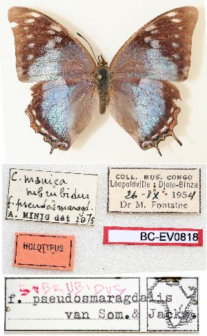 (Charaxes manica subrubidus - BC-EV0818)  @13 [ ] Unspecified (default): All Rights Reserved  Unspecified Unspecified