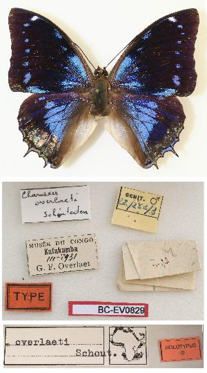 (Charaxes overlaeti - BC-EV0829)  @13 [ ] Unspecified (default): All Rights Reserved  Unspecified Unspecified
