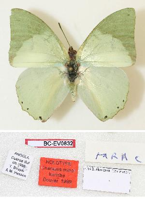 (Charaxes minor karinae - BC-EV0832)  @14 [ ] Unspecified (default): All Rights Reserved  Unspecified Unspecified