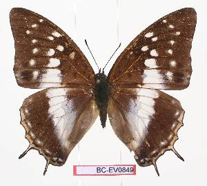 (Charaxes bamicekae - BC-EV0849)  @14 [ ] Unspecified (default): All Rights Reserved  Unspecified Unspecified