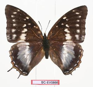 (Charaxes sp - BC-EV0866)  @15 [ ] Unspecified (default): All Rights Reserved  Unspecified Unspecified
