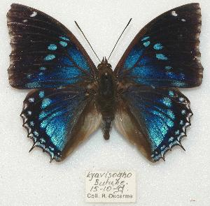 (Charaxes mixtus - BC-EV0882)  @15 [ ] Unspecified (default): All Rights Reserved  Unspecified Unspecified
