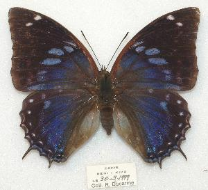 (Charaxes mixtus - BC-EV0883)  @16 [ ] Unspecified (default): All Rights Reserved  Unspecified Unspecified