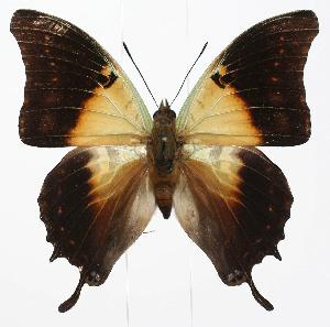 (Charaxes thomasius - BC-EV0884)  @14 [ ] Unspecified (default): All Rights Reserved  Unspecified Unspecified