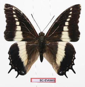 (Charaxes brutus antiquus - BC-EV0885)  @14 [ ] Unspecified (default): All Rights Reserved  Unspecified Unspecified