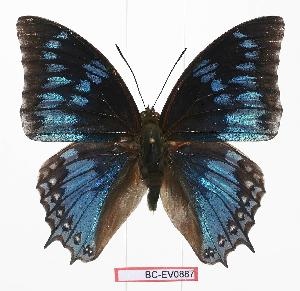 (Charaxes monteiri - BC-EV0887)  @15 [ ] Unspecified (default): All Rights Reserved  Unspecified Unspecified