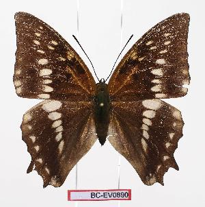 (Charaxes odysseus - BC-EV0890)  @13 [ ] Unspecified (default): All Rights Reserved  Unspecified Unspecified