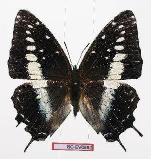 (Charaxes etesipe ssp1 - BC-EV0892)  @13 [ ] Unspecified (default): All Rights Reserved  Unspecified Unspecified