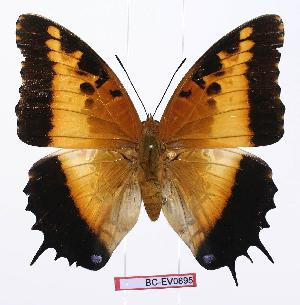 (Charaxes pollux pollux - BC-EV0895)  @14 [ ] Unspecified (default): All Rights Reserved  Unspecified Unspecified