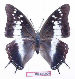 (Charaxes kirki daria - BC-EV0904)  @15 [ ] Unspecified (default): All Rights Reserved  Unspecified Unspecified
