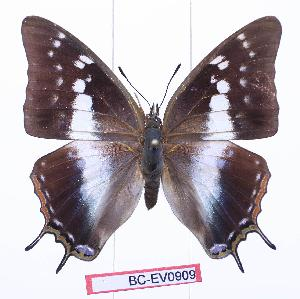 (Charaxes vansoni - BC-EV0909)  @15 [ ] Unspecified (default): All Rights Reserved  Unspecified Unspecified