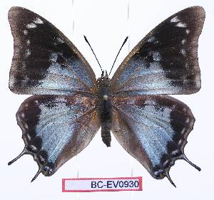 (Charaxes diversiforma - BC-EV0930)  @15 [ ] Unspecified (default): All Rights Reserved  Unspecified Unspecified