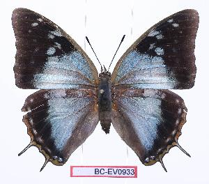 (Charaxes diversiforma - BC-EV0933)  @15 [ ] Unspecified (default): All Rights Reserved  Unspecified Unspecified