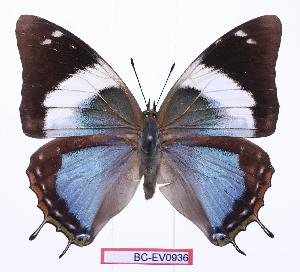 (Charaxes howarthi - BC-EV0936)  @15 [ ] Unspecified (default): All Rights Reserved  Unspecified Unspecified
