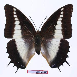 (Charaxes brutus alcyone - BC-EV0945)  @15 [ ] Unspecified (default): All Rights Reserved  Unspecified Unspecified