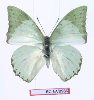 (Charaxes montis - BC-EV0969)  @13 [ ] Unspecified (default): All Rights Reserved  Unspecified Unspecified