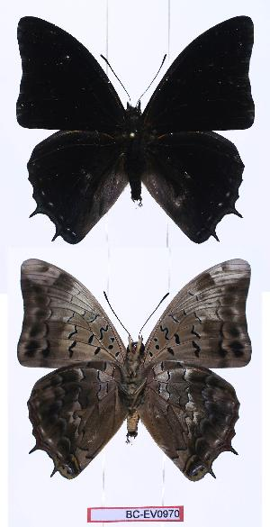 (Charaxes etheocles sp - BC-EV0970)  @13 [ ] Unspecified (default): All Rights Reserved  Unspecified Unspecified