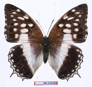 (Charaxes ameliae victoriae - BC-EV0984)  @14 [ ] Unspecified (default): All Rights Reserved  Unspecified Unspecified