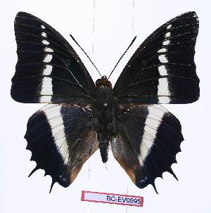 (Charaxes brutus angustus - BC-EV0995)  @14 [ ] Unspecified (default): All Rights Reserved  Unspecified Unspecified