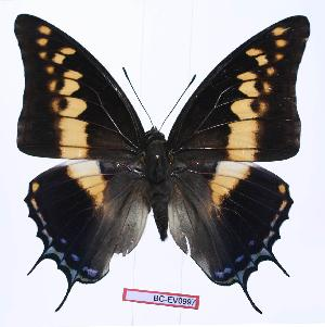 (Charaxes castor castor - BC-EV0997)  @15 [ ] Unspecified (default): All Rights Reserved  Unspecified Unspecified