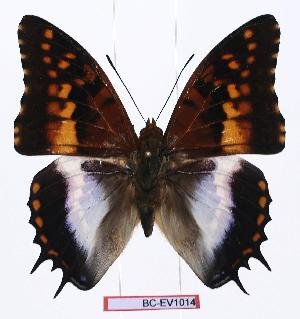 (Charaxes ansorgei jacksoni - BC-EV1014)  @14 [ ] Unspecified (default): All Rights Reserved  Unspecified Unspecified