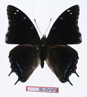 (Charaxes berkeleyi - BC-EV1016)  @14 [ ] Unspecified (default): All Rights Reserved  Unspecified Unspecified