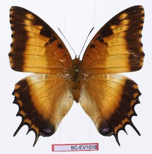 (Charaxes pollux gemius - BC-EV1018)  @13 [ ] Unspecified (default): All Rights Reserved  Unspecified Unspecified