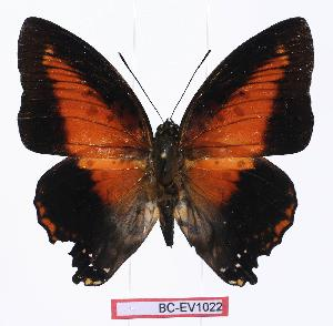 (Charaxes zingha - BC-EV1022)  @15 [ ] Unspecified (default): All Rights Reserved  Unspecified Unspecified