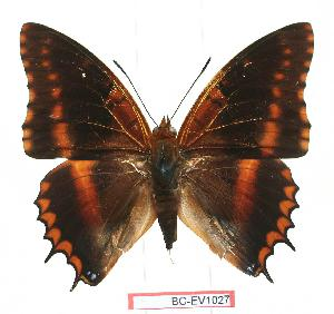 (Charaxes biokoensis - BC-EV1027)  @14 [ ] Unspecified (default): All Rights Reserved  Unspecified Unspecified