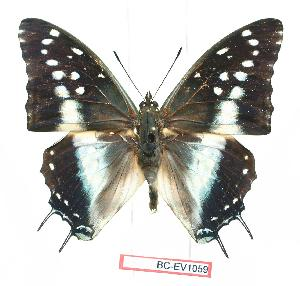 (Charaxes penricei - BC-EV1059)  @15 [ ] Unspecified (default): All Rights Reserved  Unspecified Unspecified