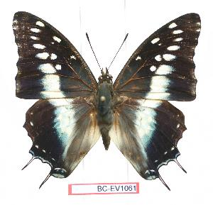 (Charaxes penricei - BC-EV1061)  @15 [ ] Unspecified (default): All Rights Reserved  Unspecified Unspecified