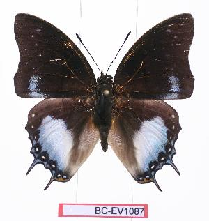 (Charaxes baumanni - BC-EV1087)  @15 [ ] Unspecified (default): All Rights Reserved  Unspecified Unspecified