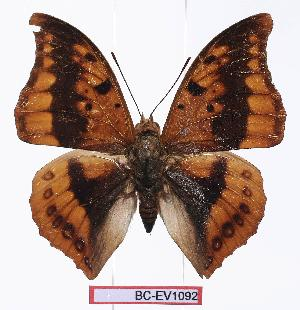 (Charaxes nichetes - BC-EV1092)  @13 [ ] Unspecified (default): All Rights Reserved  Unspecified Unspecified
