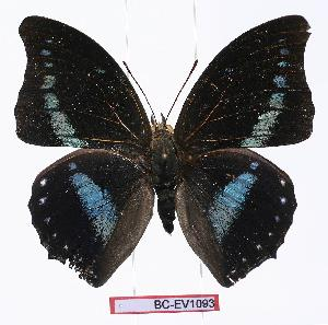 (Charaxes porthos porthos - BC-EV1093)  @14 [ ] Unspecified (default): All Rights Reserved  Unspecified Unspecified