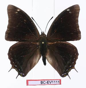(Charaxes howarthi - BC-EV1111)  @15 [ ] Unspecified (default): All Rights Reserved  Unspecified Unspecified