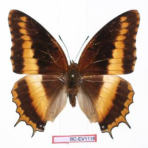 (Charaxes eudoxus eudoxus - BC-EV1116)  @14 [ ] Unspecified (default): All Rights Reserved  Unspecified Unspecified