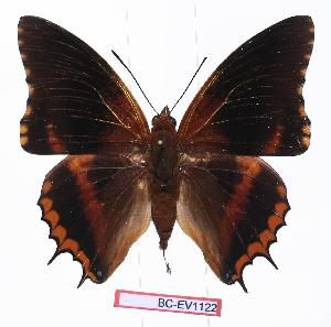 (Charaxes eudoxus katerae - BC-EV1122)  @15 [ ] Unspecified (default): All Rights Reserved  Unspecified Unspecified
