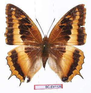 (Charaxes eudoxus zambiae - BC-EV1126)  @14 [ ] Unspecified (default): All Rights Reserved  Unspecified Unspecified
