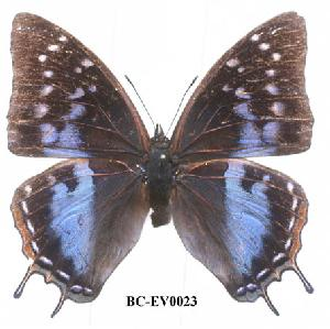 (Charaxes nyungwensis - BC-EV0023)  @14 [ ] Unspecified (default): All Rights Reserved  Unspecified Unspecified
