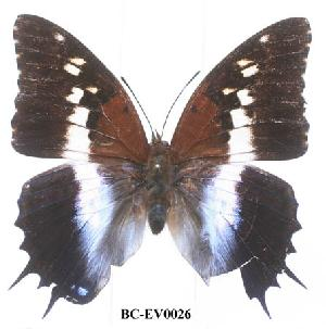 (Charaxes ansorgei ruandana - BC-EV0026)  @13 [ ] Unspecified (default): All Rights Reserved  Unspecified Unspecified