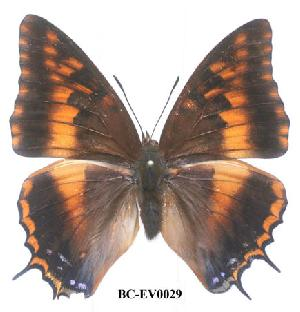 (Charaxes druceanus obscura - BC-EV0029)  @14 [ ] Unspecified (default): All Rights Reserved  Unspecified Unspecified