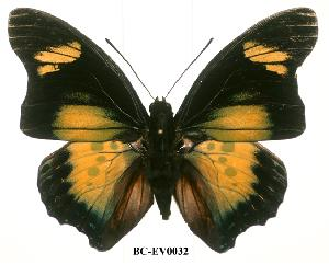 (Charaxes fournierae vandenberghei - BC-EV0032)  @14 [ ] Unspecified (default): All Rights Reserved  Unspecified Unspecified